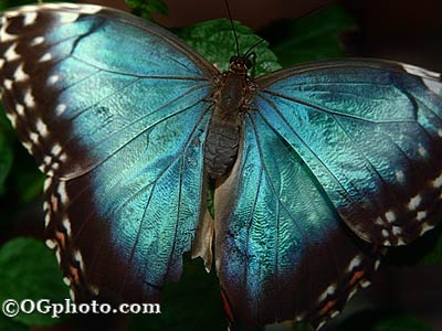 Click to view Butterflies of the World Screen Saver and Wallpaper screenshots