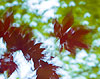 Maple Leaves (11)